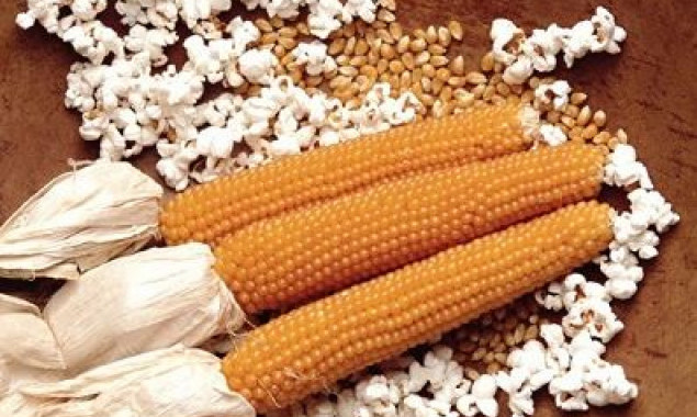 На Киевщине задержали груз кукурузы для попкорна из США с карантинным заболеванием
