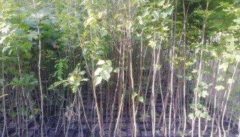 Центр альтернативного озеленения приглашает киевлян высадить деревья в столице